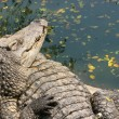Crocodiles — Stock Photo