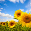 Sunflowers — Stock Photo #6194290