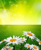 Chamomile flower in grass — Stock Photo