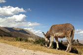 Osamělý osel v horách — Stock fotografie
