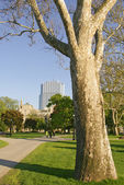 Sycamore tree in park — Stock Photo