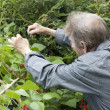 Man gardening and checking his runner bean plants — 图库照片