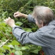 Man gardening and checking his runner bean plants — Foto de Stock