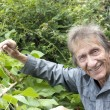 Stock Photo: Elderly mlooking at runner beans vegetable patch