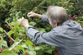 Man gardening and checking his runner bean plants — Stock Photo