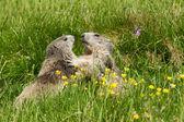 Marmot in the alps — Stock fotografie
