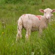 Stock Photo: Lamb
