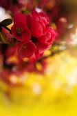 Japenese flowering crabapple flowers — Stock Photo