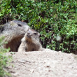 Alpine baby marmot - Stock Photo