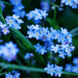 Forget me not flowers — Stock Photo #6100838