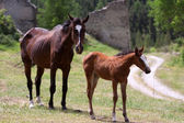Foal With Mother — Stock Photo