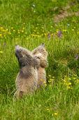 Marmot in the alps — Stock Photo