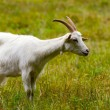 Goat on a green meadow - Stock Photo