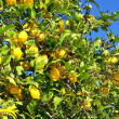 Yellow lemons on tree. — Stock Photo
