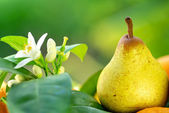 Rocha pear on green background. — Stock Photo