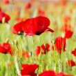 Red Poppies in field . - Stock Photo