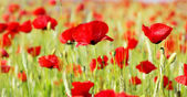Red Poppies in field . — Stock Photo