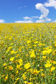 Yellow flower field. — Stock Photo