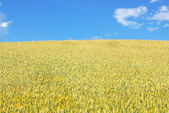 Yellow wheat field. — Stock Photo