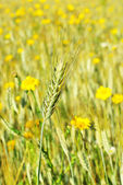 Spike in yellow field. — Stock Photo