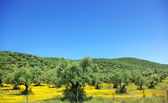Olives tree at portuguese field. — Stock Photo