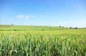 Green wheat field at south of Portugal. — Stock Photo