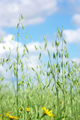 Spikes of oats on field. — Stock Photo