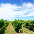 Vineyard in south of Portugal. — Stock Photo #5852964