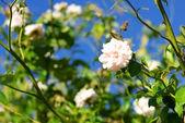 Pink rose flowers closeup, green garden background — Stock Photo