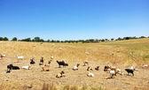 在一个字段上国内山羊 — 图库照片