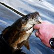 Small mouth bass close up - Stock Photo