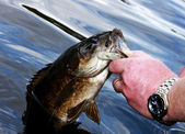 Small mouth bass close up — Foto Stock