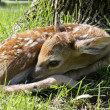 New born fawn — Stock Photo #5641818