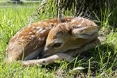 New born fawn — Stock Photo