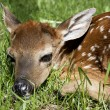 Neborn whitetail fawn — Stock Photo #5677502