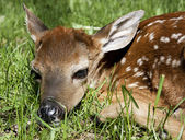 Neborn whitetail fawn — Stock Photo