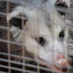 Close up of opossum — Stock Photo #6516289
