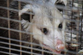 Close up of opossum — Stock Photo