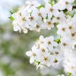 Blooming spring tree background — Stock Photo