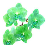 Green orchid — Stock Photo