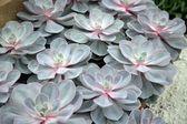 Sempervivum tectorum in closeup, housekeep — Stock Photo