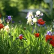 Meadow with red poppies and  irises — Foto Stock