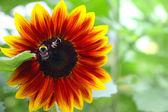 Decorative Sunflower — Stock Photo