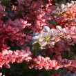 European barberry (Berberis vulgaris var. atro-purpurea) - Stock Photo