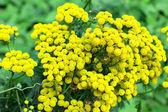 Tansy (Tanacetm vulgare) flower — Stock Photo