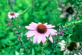 Echinacea Purpurea Flower — Stock Photo