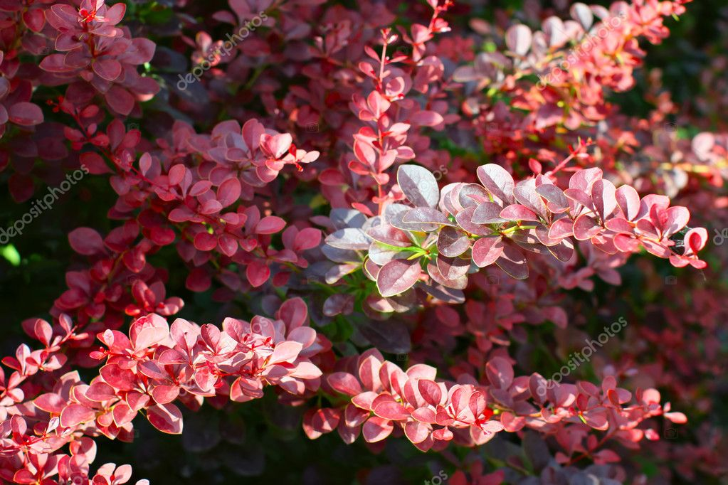 A branchs of European barberry (Berberis vulgaris var. atro-purpurea)  — Stock Photo #6313037