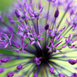 Macro of alium flowers — Stock Photo