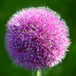 Allium Flower — Stock Photo #6380095
