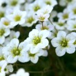 Saxifrage flowers — Stock Photo